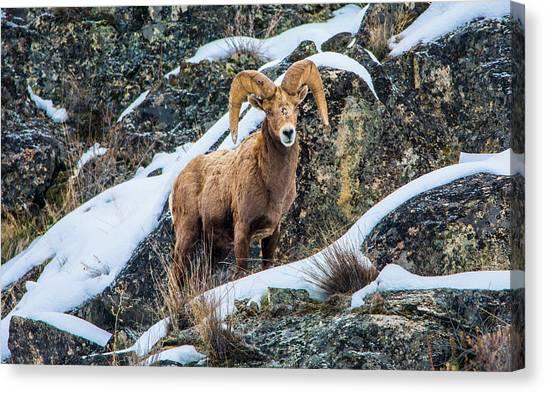 Bighorn Ram 3 Canvas Print