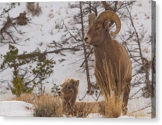Bighorn Ram And Kid Canvas Print