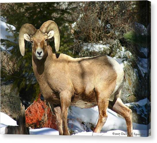 Bighorn Ram Canvas Print by Perspective Imagery