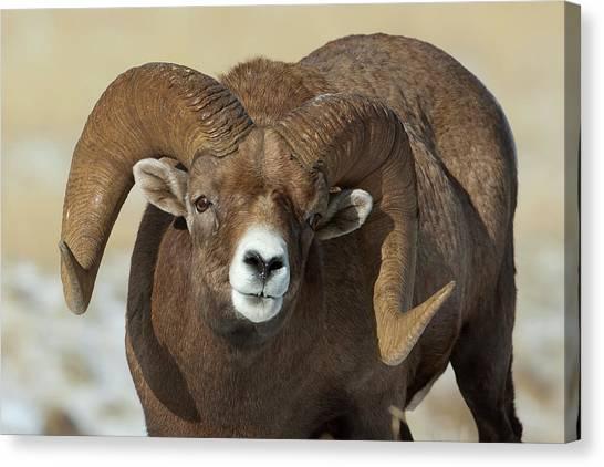 Bighorn Ram In Montana Canvas Print