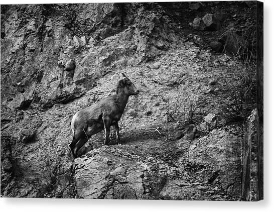 Canvas Print featuring the photograph Bighorn Sheep Ewe On Wolf Creek Pass by Jason Coward