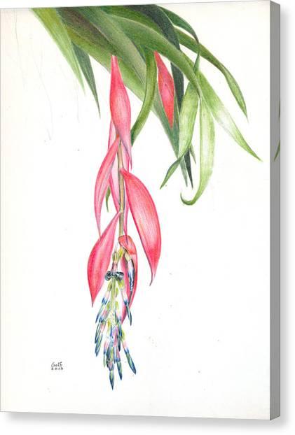 Billbergia 'windii' Canvas Print