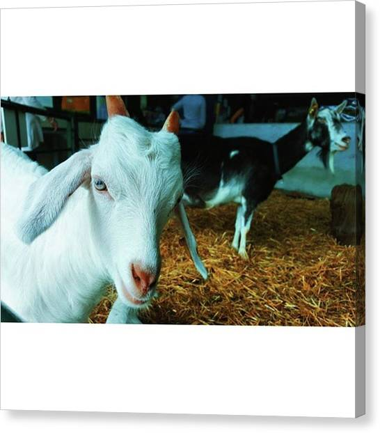 #billygoat #farm #sussex #animals Canvas Print by Natalie Anne