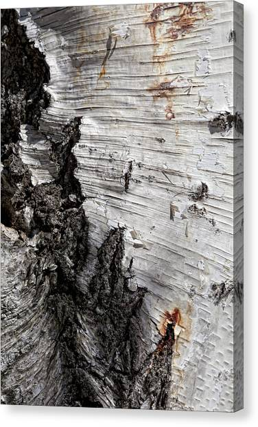 Birch Bark Canvas Print