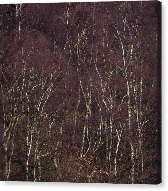 Sherwood Forest Canvas Print - Patterns Of Birch by Chris Dale