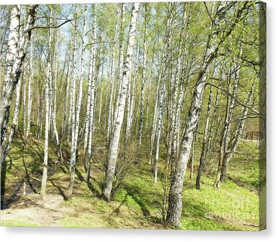 Birch Forest In Spring Canvas Print