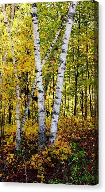 Birch In Gold Canvas Print