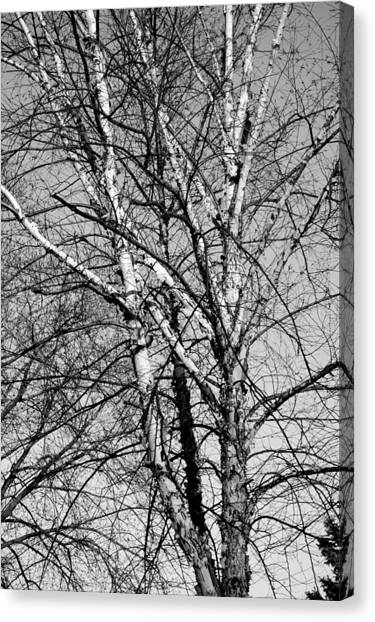 Birch Canvas Print by Jame Hayes