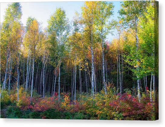 Birch Trees Turn To Gold Canvas Print