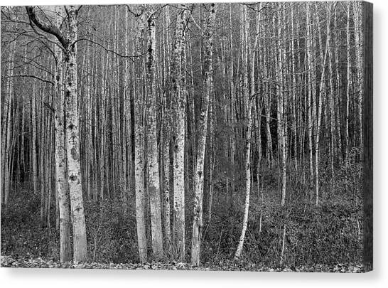 Birch Tress Canvas Print