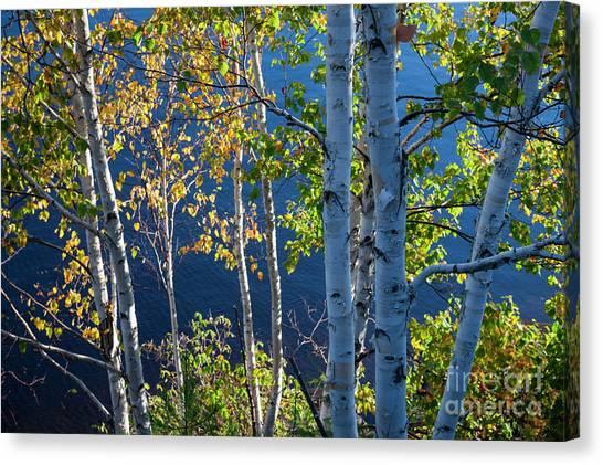 Algonquin Park Canvas Print - Birches On Lake Shore by Elena Elisseeva