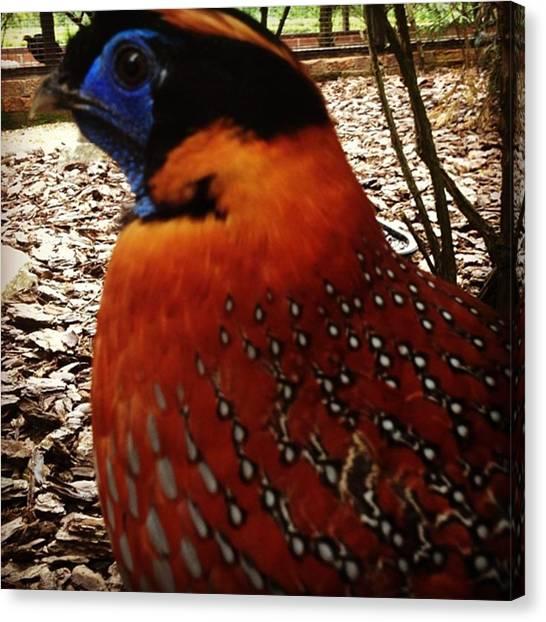 Pheasants Canvas Print - Bird by Brooke Hooker