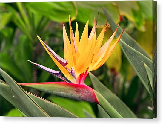 Bird Of Paradise Photo Canvas Print by Peter J Sucy