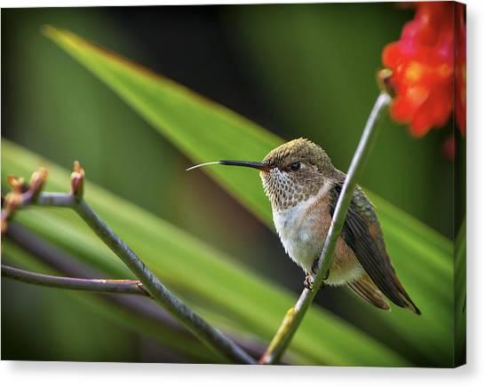 Selasphorus Canvas Print - Birds Of Bc - No. 31 - Rufous Hummingbird - Selasphorus Rufus by Paul W Sharpe Aka Wizard of Wonders