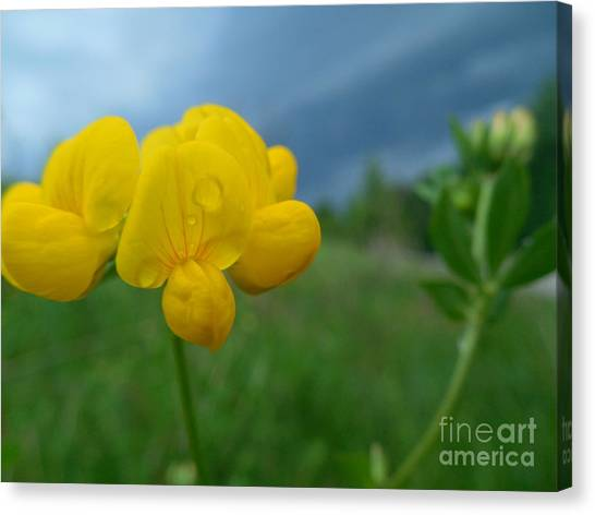 Eggs And Bacon Canvas Print - Birdsfoot Trefoil In Springtime Storm Closeup by Rowena Throckmorton