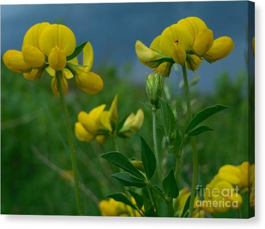 Eggs And Bacon Canvas Print - Birdsfoot Trefoil In Springtime Storm Horizontal by Rowena Throckmorton