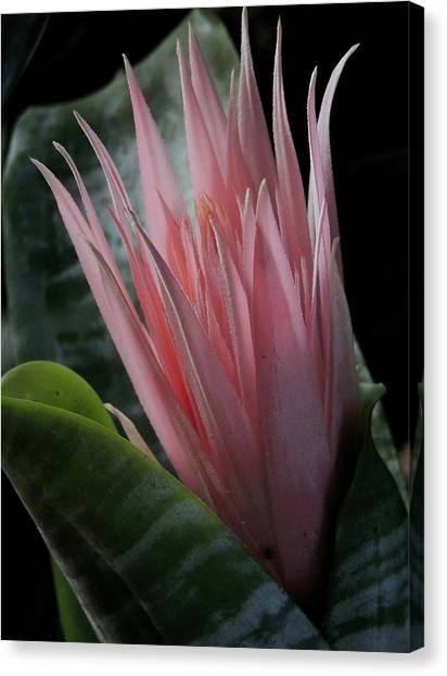 Birth Of A Bromeliad Canvas Print