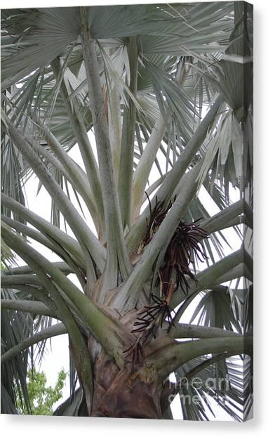 Bismark Palm Canvas Print