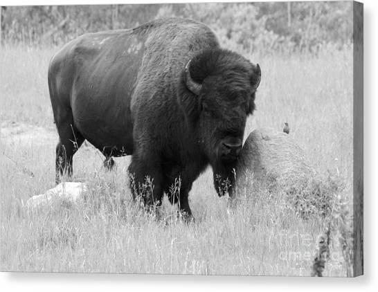 Bison And Buffalo Canvas Print
