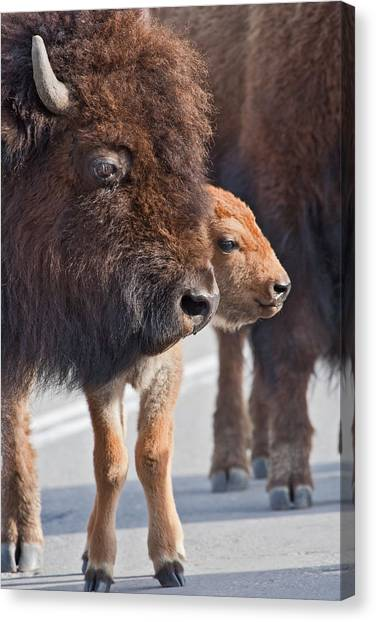 Bison And Calf Canvas Print