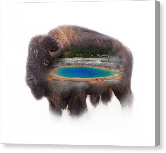 Bison And Great Prismatic Spring Double Exposure Canvas Print