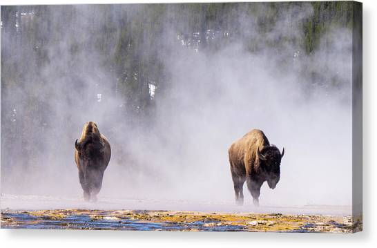 Bison At Biscuit Basin Canvas Print