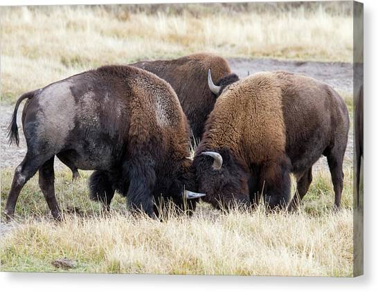 Bison Fight Canvas Print