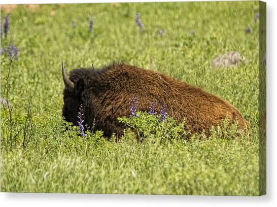 Bison In Bluebonnests Canvas Print