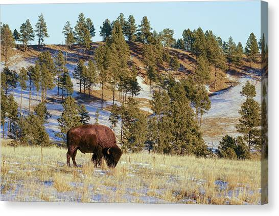 Bison In Custer State Park Canvas Print