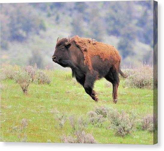 Bison In Flight Canvas Print by John R Young Jr