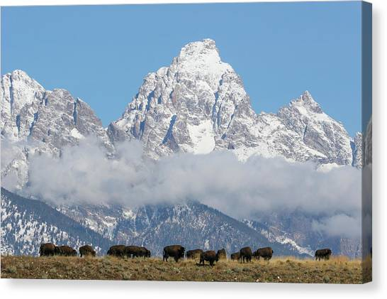 Bison In The Tetons Canvas Print