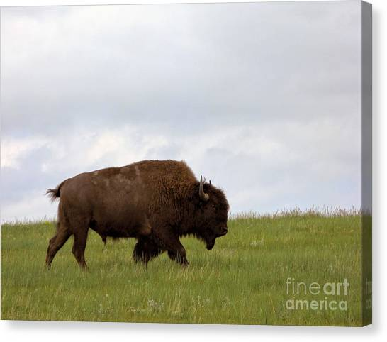 South Buffalo Canvas Print - Bison On The American Prairie by Olivier Le Queinec