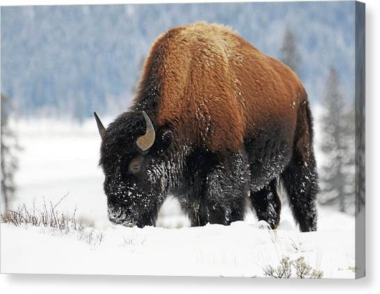 Bison Roaming In The Lamar Valley Canvas Print