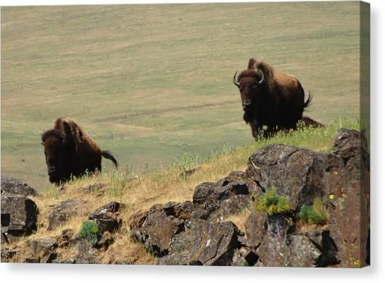 Bison Watch Canvas Print