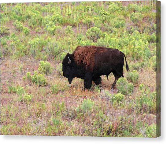Bison1 Canvas Print