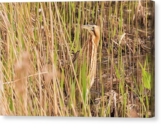 Bittern In The Reeds Canvas Print