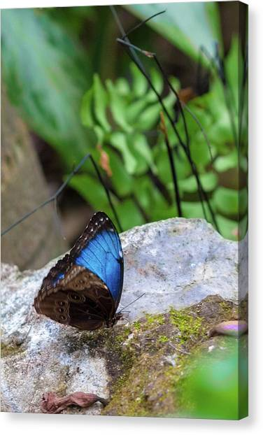Canvas Print featuring the photograph Black And Blue Butterfly Eating by Raphael Lopez