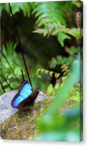 Canvas Print featuring the photograph Black And Blue Butterfly by Raphael Lopez