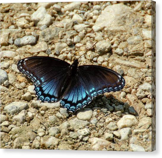 Black And Blue Monarch Butterfly Canvas Print