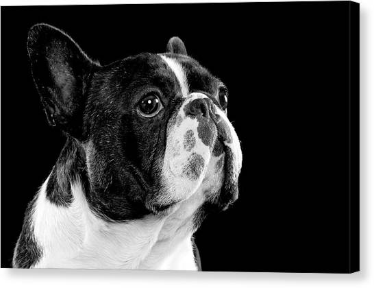 French Bull Dogs Canvas Print - Black And White Bull Dog by Hugo Orantes