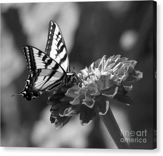 Black And White Butterfly On Zinnia Canvas Print