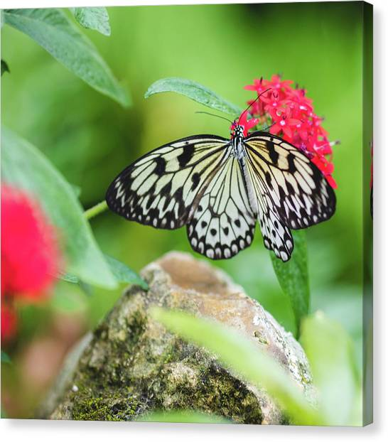 Black And White Butterfly Canvas Print