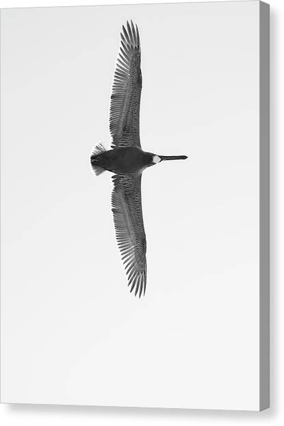 Black And White Pelican Canvas Print