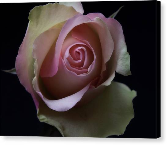Black And White Pink Flowers Roses Macro Photography Art Work Canvas Print