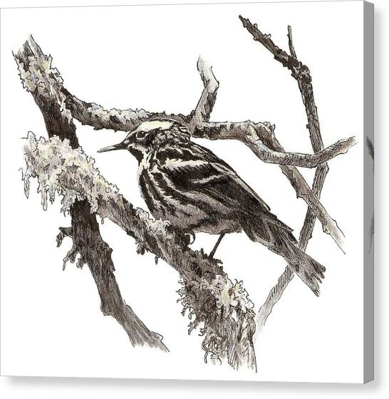 Black-and-white Warbler Canvas Print