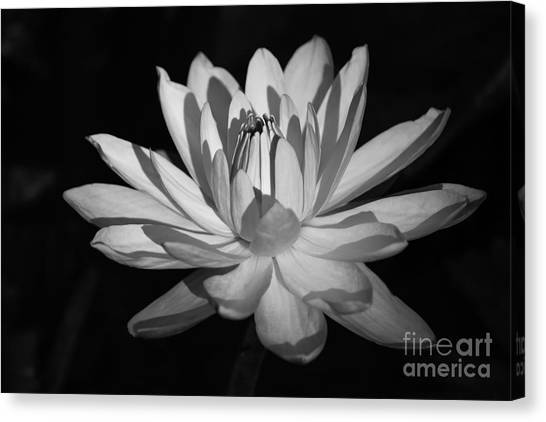 St. Lucie County Canvas Print - Black And White Waterlily by Liesl Walsh