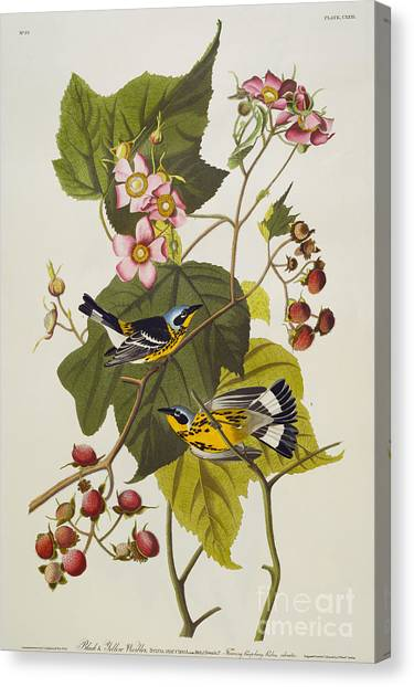 Warblers Canvas Print - Black And Yellow Warbler by John James Audubon