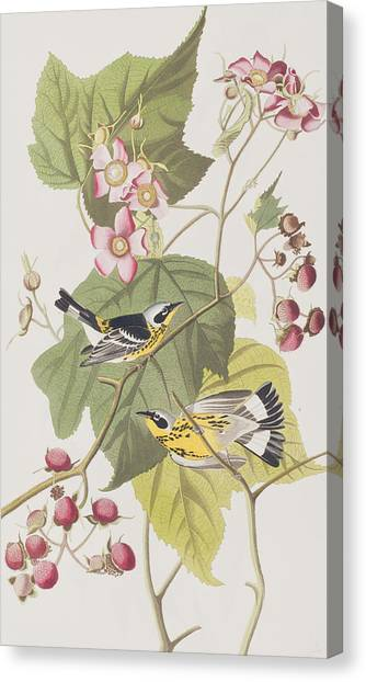 Warbler Canvas Print - Black And Yellow Warblers by John James Audubon