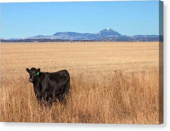 Angus Steer Canvas Print - Black Angus Looking by Todd Klassy