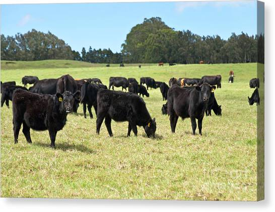 University Of Hawaii Canvas Print - Black Angus Steers by Inga Spence